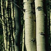 Close View Of Several Aspen Tree Trunks Art Print
