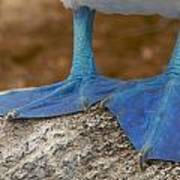 Close View Of The Feet Of A Blue-footed Art Print by Tim Laman