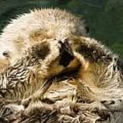 Closeup Of A Captive Sea Otter Covering Art Print