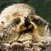 Closeup Of A Captive Sea Otter Covering Art Print