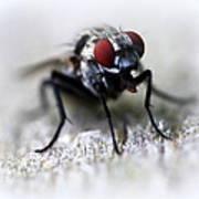 Closeup Of A Fly  Art Print by Maureen  McDonald