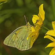 Clouded Sulphur Butterfly Din099 Art Print