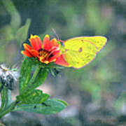 Clouded Sulphur Butterfly Square Art Print