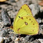 Clouded Sulphur Art Print