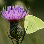 Cloudless Sulfur Butterfly On Bull Thistle Wildflower Art Print