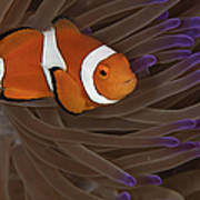 Clownfish In Purple Tip Anemone Art Print