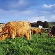 Co Antrim, Ireland Highland Cattle Art Print