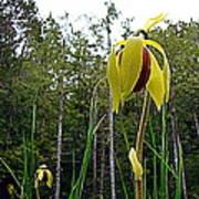 Cobra Lily Blossom Art Print