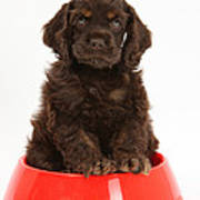 Cocker Spaniel Pup In Doggy Dish Print by Mark Taylor