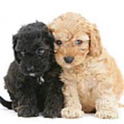Cockerpoo Puppies Art Print