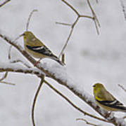 Cold Yellow Finch Walk Art Print
