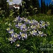 Colorado Blue Columbine At Lake Irwin Art Print