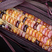 Colorful Indian Corn Art Print