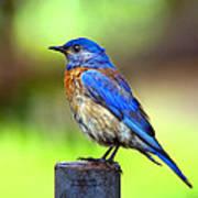Colorful - Western Bluebird Art Print