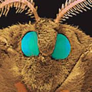 Coloured Sem Of The Head Of A Silk Moth, Bombyx Sp Art Print