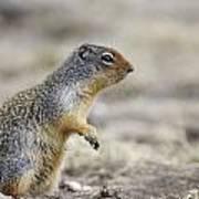 Columbian Ground Squirrel, Banff Art Print