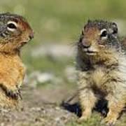 Columbian Ground Squirrels, Banff Art Print