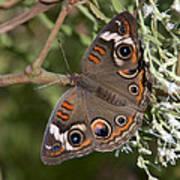 Common Buckeye Butterfly Din182 Art Print