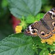 Common Buckeye II Art Print