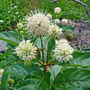 Common Buttonbush - Cephalanthus Occidentalis Art Print