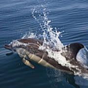 Common Dolphin Delphinus Delphis Art Print