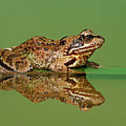 Common Frog Rana Temporaria Art Print