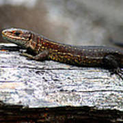 Common Lizard Art Print