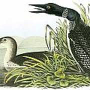 Common Loon Art Print by John James Audubon