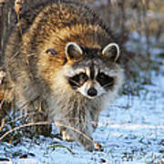 Common Raccoon Art Print