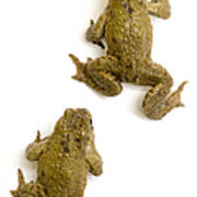 Common Toad Art Print