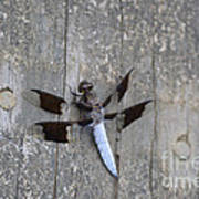 Common White Tail Dragonfly Art Print
