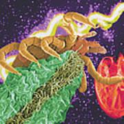 Composite Image Of A Tick And A Borrelia Bacterium Art Print