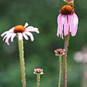 Coneflowers And Butterfly Art Print