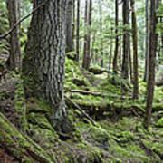 Coniferous Forest, Inside Passage Art Print