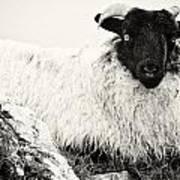 Connemara Sheep Art Print