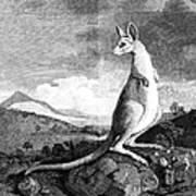 Cook: Kangaroo, 1773 Art Print