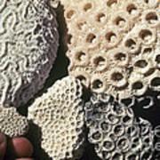 Coral Cobbles On Beach Of Bonaire Art Print