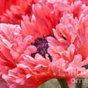 Coral Poppy Art Print