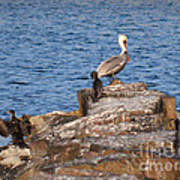 Cormorants And Pelican Art Print