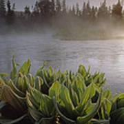 Corn Lilies Near Crescent Creek, Oregon Art Print