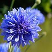 Cornflower Blue Art Print by Sharon Lisa Clarke