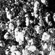 Cotton Classic B And W Art Print