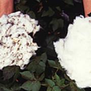 Cotton Comparison Art Print