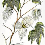 Cotton Plant, 1796 Art Print