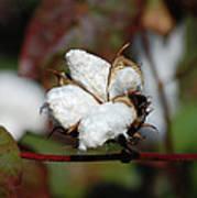 Cotton Pod 3 Art Print