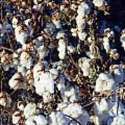 Cotton The Thread That Binds Art Print