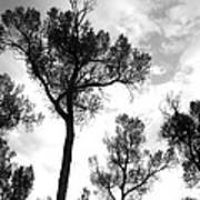 Cottonwood Silhouette Ser1 Art Print