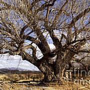 Cottonwood Tree At San Pedro House Art Print