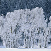Cottonwood Trees With Frost Art Print