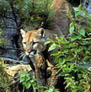 Cougar Coming Through Art Print